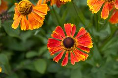 Helenium Waltraut flowers Stock Photo