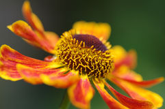 Helenium Waltraut. Shallow focus close up of fiery orange red and yellow Helenium Waltraut flower, on the diagonal Stock Photo