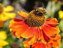 Helenium y abeja Fotografía de archivo libre de regalías