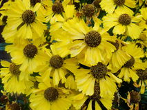 Helenium yellow flowers. arnica flowers in the garden. Gelenium Helenium, family Compositae. gelenium - beautiful yellow garden Royalty Free Stock Images