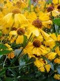 Helenium yellow flowers. arnica flowers in the garden. Gelenium Helenium, family Compositae. gelenium - beautiful yellow garden Stock Photography