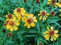 Helenium yellow flowers. arnica flowers in the garden. Gelenium Helenium, family Compositae. gelenium - beautiful yellow garden Royalty Free Stock Photo