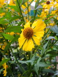Helenium yellow flowers. arnica flowers in the garden. Gelenium Helenium, family Compositae. gelenium - beautiful yellow garden Stock Photo
