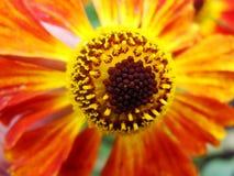 Helenium yellow flowers. arnica flowers in the garden. Gelenium Helenium, family Compositae. gelenium - beautiful yellow garden Royalty Free Stock Photography