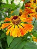Helenium yellow flowers. arnica flowers in the garden. Gelenium Helenium, family Compositae. gelenium - beautiful yellow garden Royalty Free Stock Photos