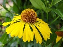 Helenium yellow flowers. arnica flowers in the garden. Gelenium Helenium, family Compositae. gelenium - beautiful yellow garden Royalty Free Stock Image