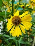 Helenium yellow flowers. arnica flowers in the garden. Gelenium Helenium, family Compositae. gelenium - beautiful yellow garden Stock Image