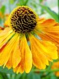 Helenium yellow flowers. arnica flowers in the garden. Gelenium Helenium, family Compositae. gelenium - beautiful yellow garden Stock Images