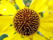 Helenium yellow flowers. arnica flowers in the garden. Gelenium Helenium, family Compositae. gelenium - beautiful yellow garden Stock Photo