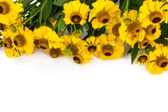 Helenium yellow flowers on white background Stock Image