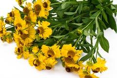 Helenium yellow flowers on white background Royalty Free Stock Image