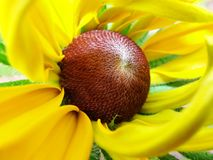 Heleniumautumnale i trädgården Röd och gul blomma - härlig stor gul orange röd gelenium för blommaastermakro Royaltyfri Foto