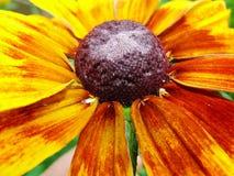 Heleniumautumnale i trädgården Röd och gul blomma - härlig stor gul orange röd gelenium för blommaastermakro Fotografering för Bildbyråer
