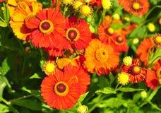 Heleniumbloemen Stock Afbeelding