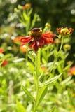 Heleniumblume im Sommergarten Stockbilder