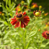 Heleniumblume im Sommergarten Stockfoto