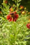 Heleniumblume im Sommergarten Stockfotografie