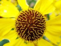 Heleniumgulingblommor arnika blommar i trädgården Gelenium Helenium, familjCompositae gelenium - härlig gulingträdgård arkivfoto