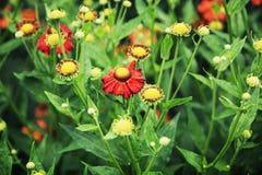 Heleniumhybridumen blommar i trädgården Arkivbilder