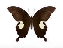 Helenus de Papilio Imágenes de archivo libres de regalías