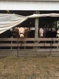 Helfen Sie uns Kühe Stockfoto