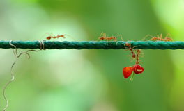 Helfende Ameisen Stockfotografie