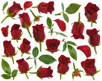 Helft-geopende rood nam knoppenbladeren en bloemblaadjes bij diverse hoeken toe Royalty-vrije Stock Foto