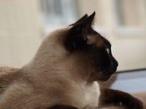 Helft-gezicht Siamese Kat Stock Afbeeldingen