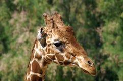 Helft-profiel van een giraf Portret Close-up stock foto's