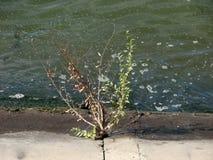 Helft-vernietigde struik tegen de achtergrond van het vuile water in de rivier Stock Foto's