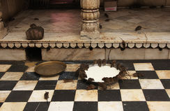 Helgedomen tjaller att dricka mjölkar från en bunke, Karni Mata Temple, Deshnok, royaltyfri bild