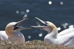 Helgoland - Basstölpel stockfotografie
