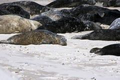 Helgoland, Germany. Grey Seals (Halichoerus grypus) at Helgoland, Germany, Europe Royalty Free Stock Image