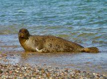 Helgoland - island in Germany, adult seal Stock Images