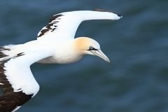 Morus bassanus. Helgoland. Photographed in the North Sea. Helgoland. Royalty Free Stock Photo