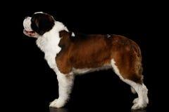 Helgon Bernard Dog på isolerad svart bakgrund royaltyfri fotografi