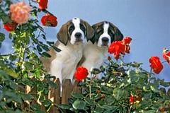Helgon Bernard Puppies fotografering för bildbyråer