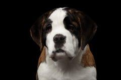 Helgon Bernard Purebred Puppy på isolerad svart bakgrund royaltyfria foton