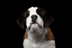 Helgon Bernard Purebred Puppy på isolerad svart bakgrund arkivfoto