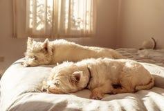 Helgsömn in för två lata västra westiehundkapplöpning för höglands- vit terrier på säng i sovrum royaltyfri fotografi