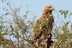 Heliaca impérial oriental d'Eagle - d'Aquila photos libres de droits
