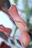 Heliamphora, Roofzuchtige vleesetende orchidee van Ecuatoriaanse Am Stock Fotografie