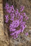 Helianthemifolia de florescência do Micromeria Imagens de Stock