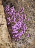 Helianthemifolia de florescência do Micromeria Fotografia de Stock Royalty Free