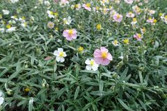 Helianthemum with pink and white flowers. Helianthemum apenninum with pink and white flowers Royalty Free Stock Photography
