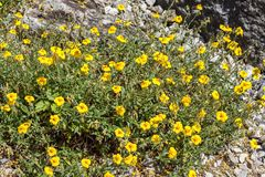 Helianthemum `Ben Fhada`. A yellow herbaceous springtime summer flower plant commonly known as rock rose Royalty Free Stock Photos