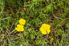 Helianthemum nummularium (common rock-rose). Helianthemum nummularium (common rock-rose) - yellow flower Stock Photos