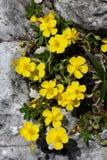 Helianthemum nummularium. Delicate Yellow flowers on grey rock Stock Photos