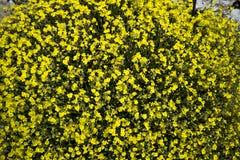 Helianthemum oelandicum or Hoary Rock-rose. This small, prostrate, perennial sub-shrub is often abundant in short, open, rocky Carboniferous limestone Stock Photography