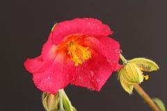 Helianthemum. A pink  Helianthemum on a black background Stock Photography